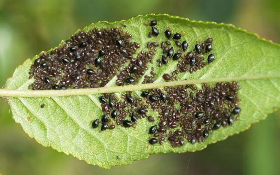 Вредители и инсектициды