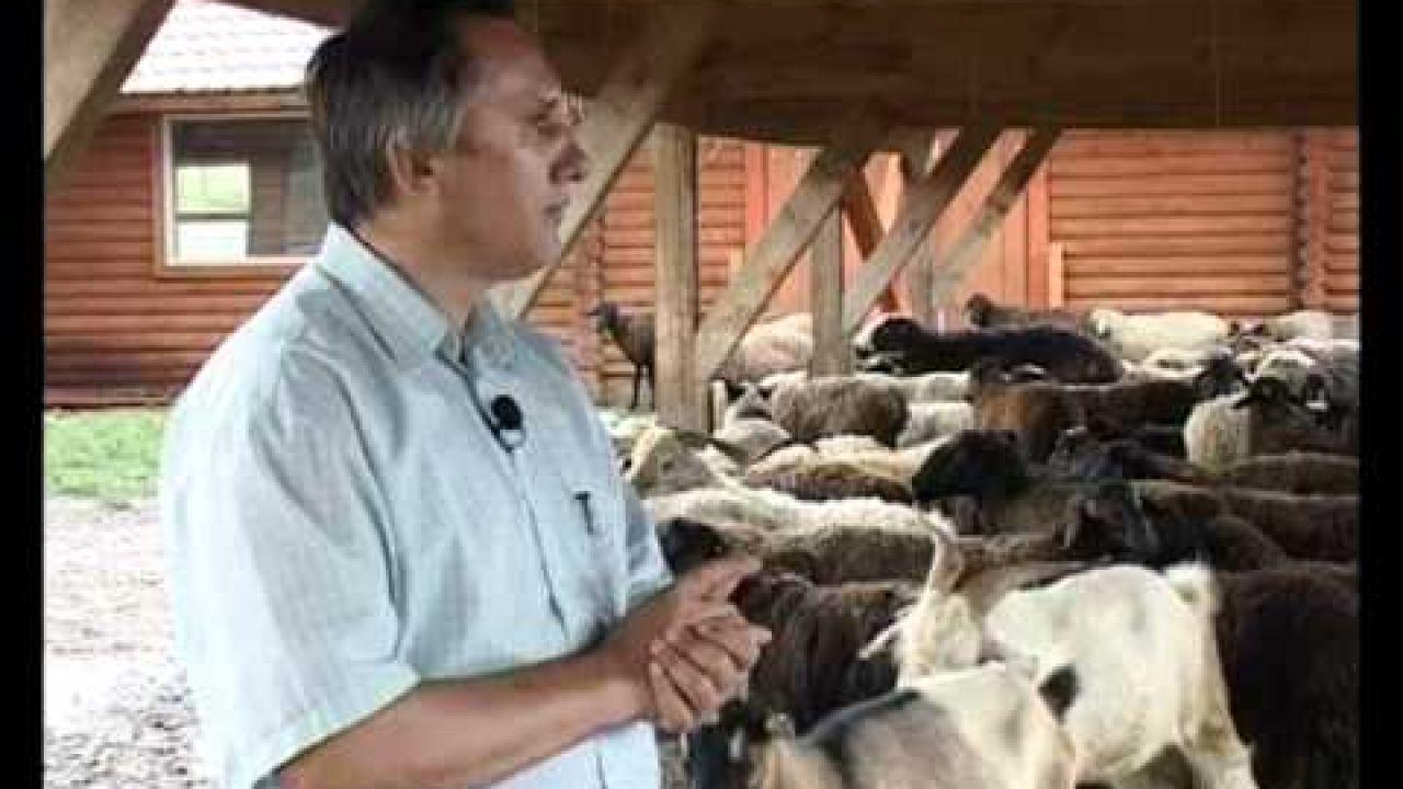 Афганская курдючная порода овец