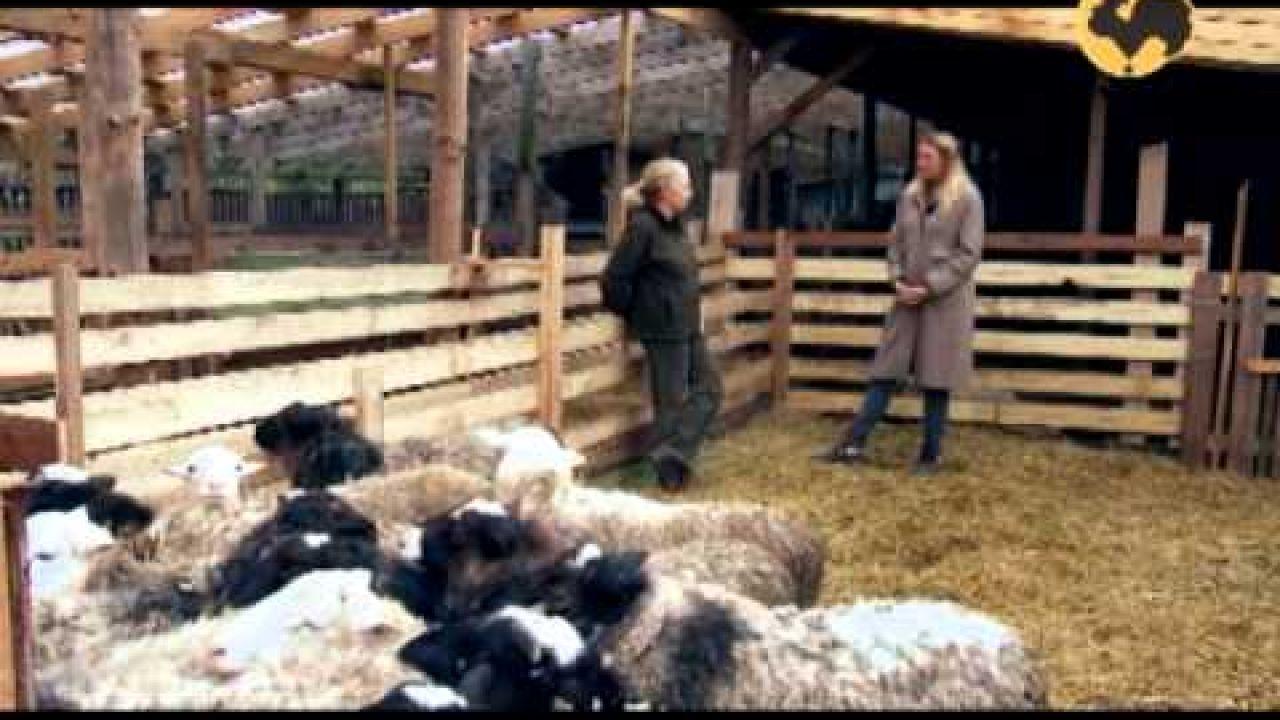 Многопородное скрещивание овец.