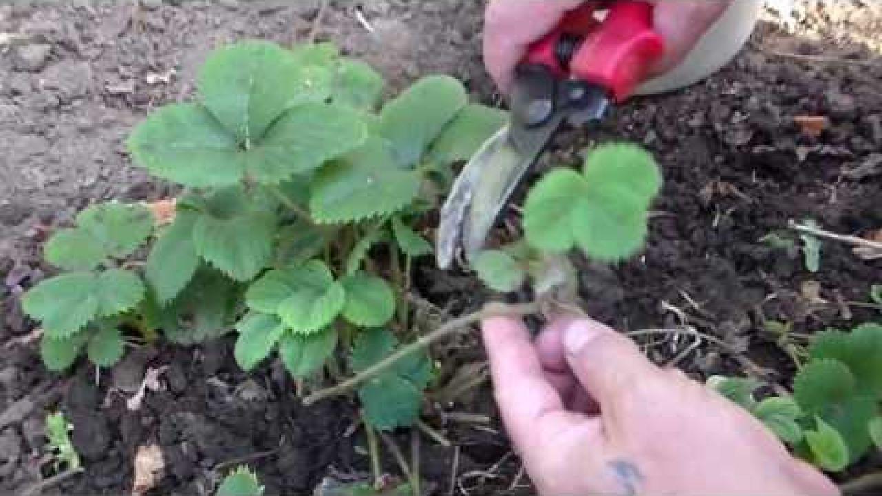 Земляника - обрезка листьев