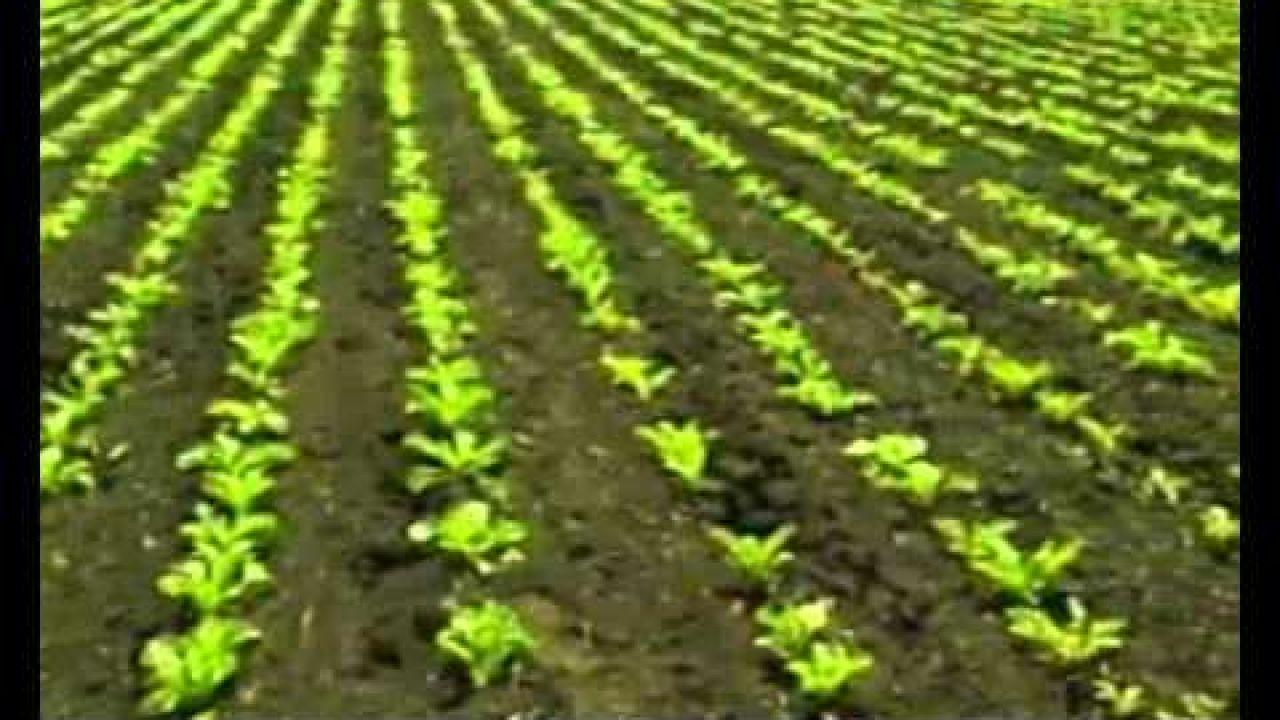 Возделывание сахарной свеклы - советы агронома