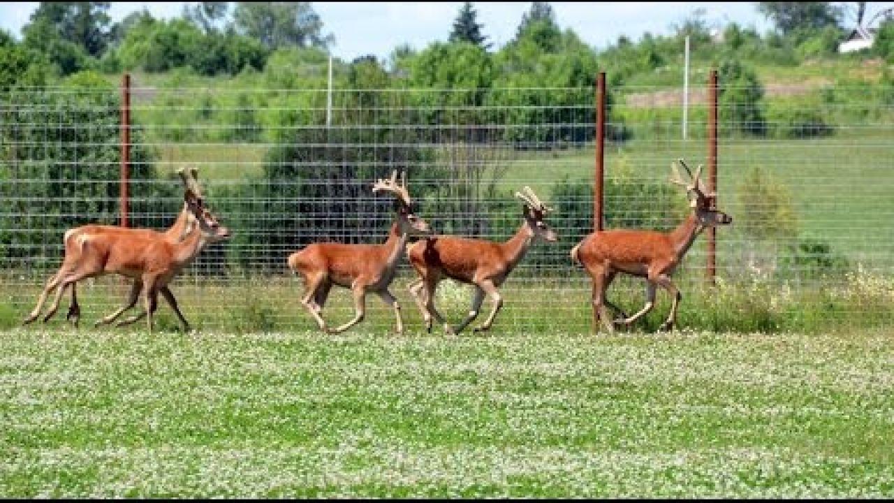 Разведение и содержание оленей в охотхозяйстве