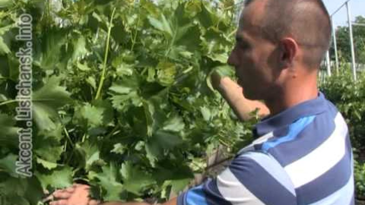 Цветение и формирование кустов винограда