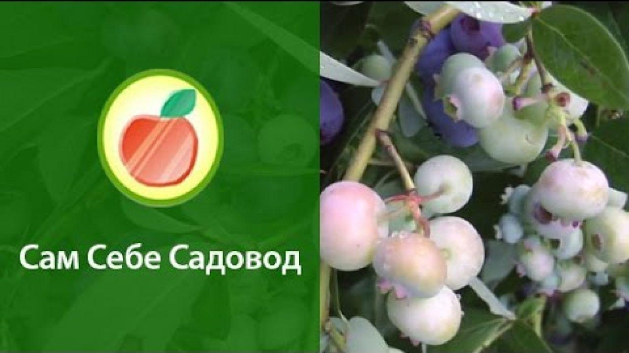 Как выращивать голубику высокорослую