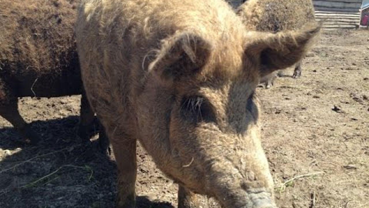 Содержание свиноматок в послеродовой период.