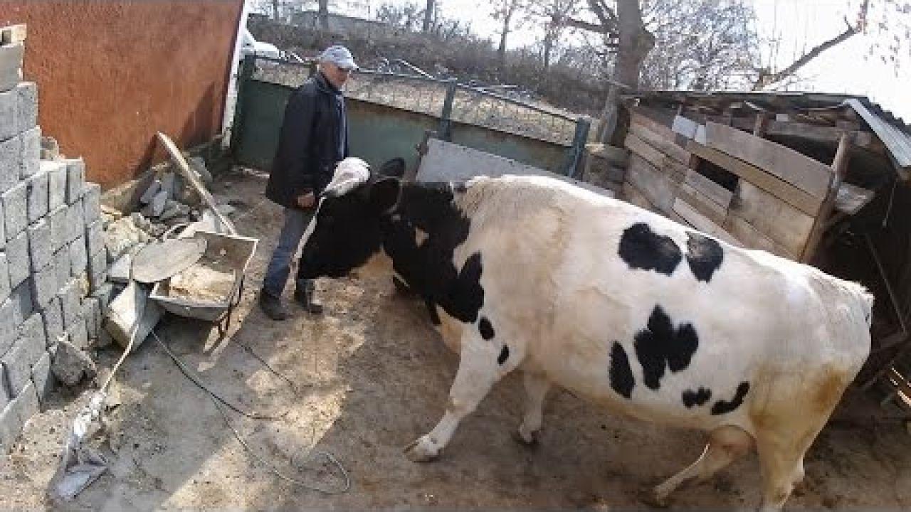 Лечение коровы с гипотонией преджелудков (село).