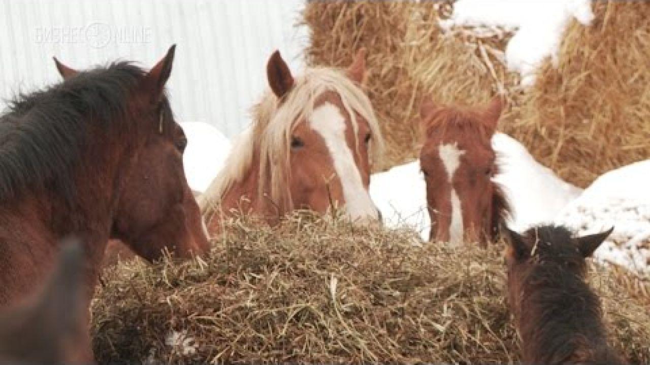 Бизнес на разведении лошадей тяжеловозов