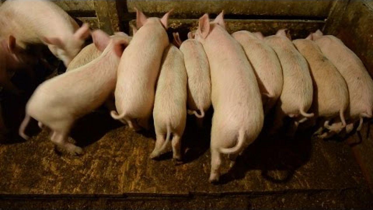 Содержание свиней на глубокой подстилке.