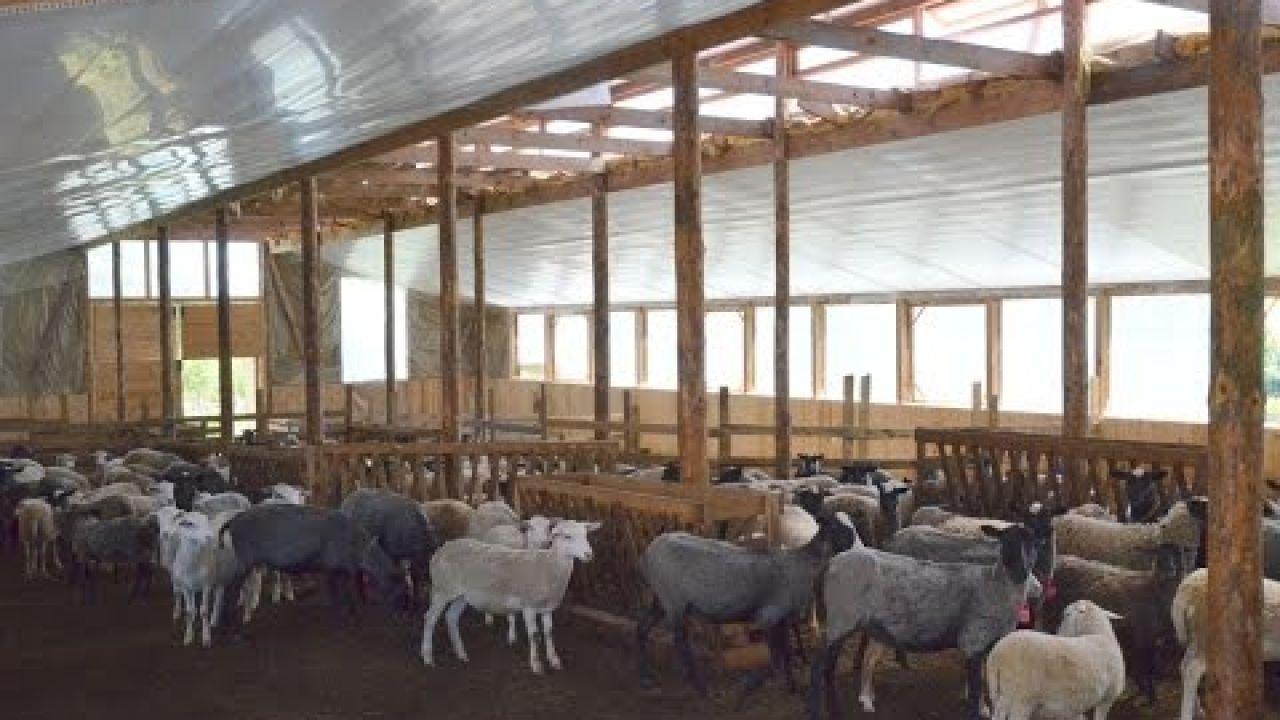 Условия содержания овец.