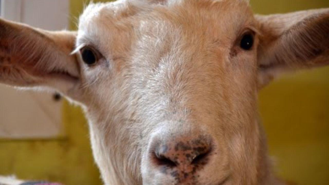 Продуктивный период у козлов и молочных коз.