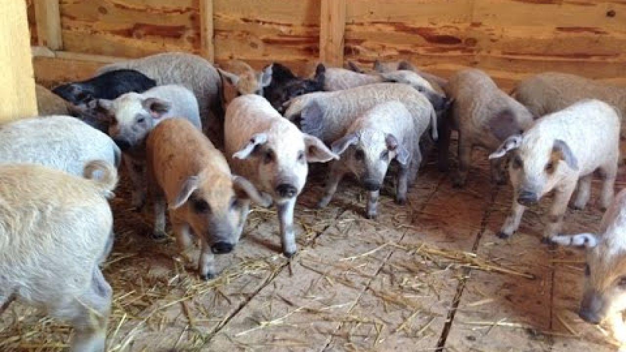 Помещение для откорма молодняка свиней.