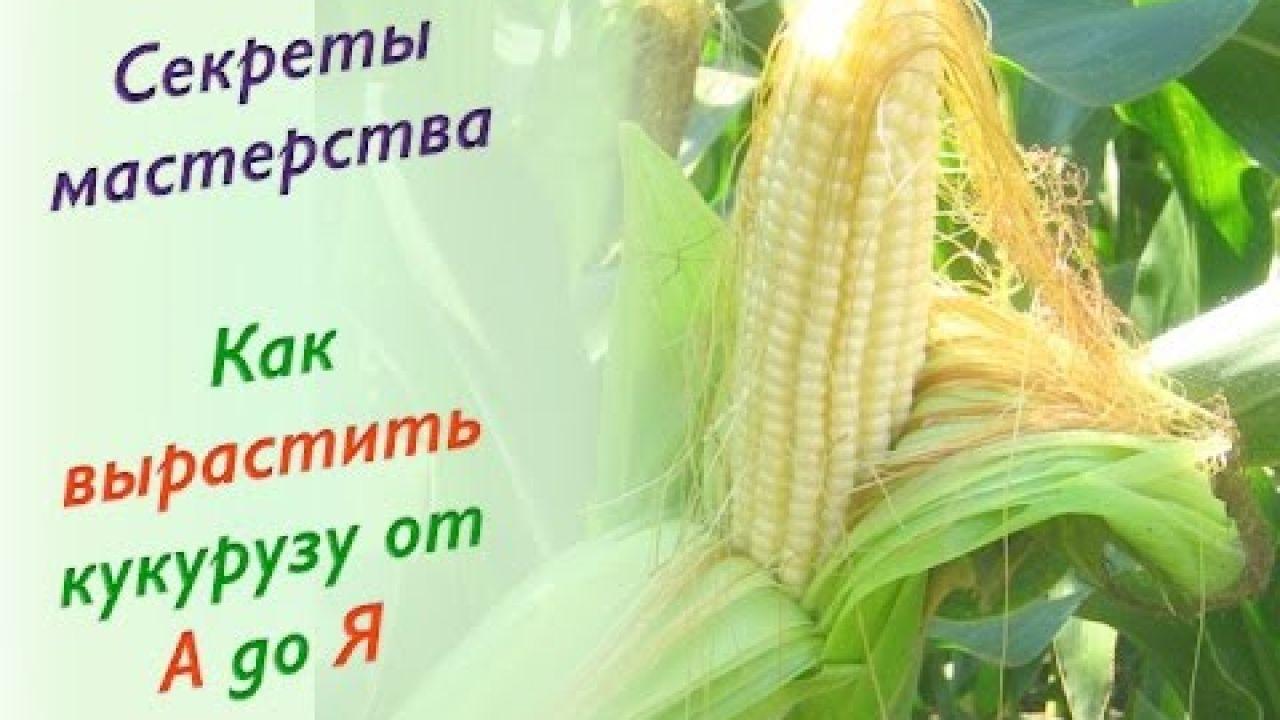Советы огородника - Как вырастить кукурузу от А до Я.